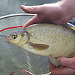 Skimmer Bream